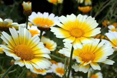Al Chrysanthemum coronarium también se le llama ojo de buey