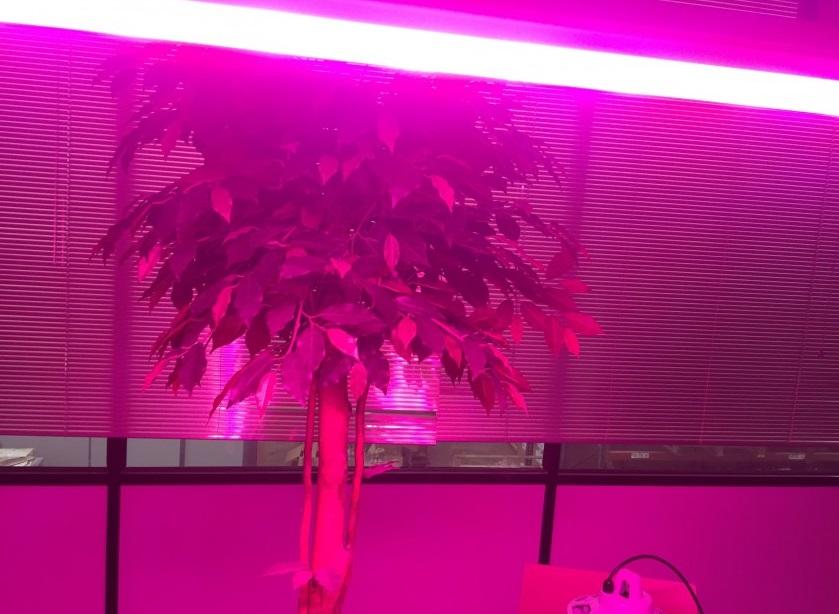 El color de la luz cultivo interior LED mejora el crecimiento.